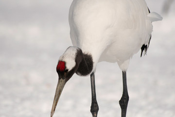 Close-up of head of red-crowned crane