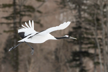 Red-crowned crane flying in Tsurui village