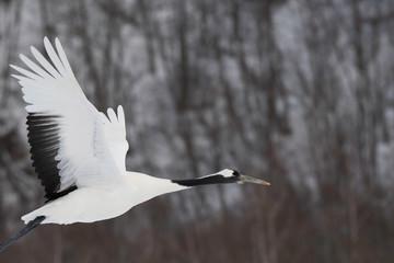 Red-crowned crane taking off in Tsurui village