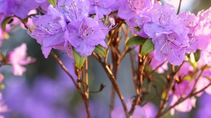 Fototapete - Pink rhododendron flowers in springtime