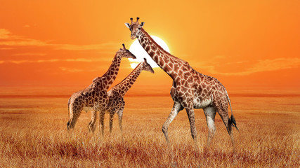 Wall Mural - Group of wild giraffes in the African savannah. Wildlife of Africa. Serengeti National Park. Tanzania.