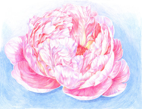 Pencil drawing delicate peony flower, bud
