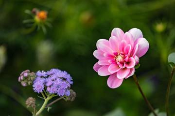 Markante rosa Blüte freigestellt vor grünem Blütenmeer