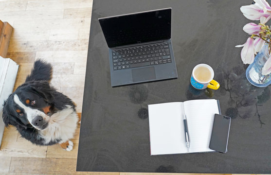 Working from home, Desk, laptop, notebook, pen, flowers, coffee cup. Bernese Mountain Dog sitting next to the table.