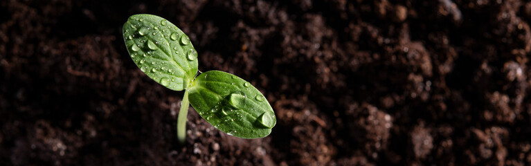 A young sprout grows from the soil with drops on the leaves. Top view. Fotomurales