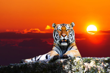 Fotobehang Tijger Tiger portrait on the rock with beautiful sky at sunset time