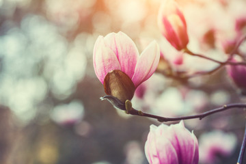 Photo sur Aluminium Magnolia beautiful blooming pink magnolia tree over nature background, fresh spring flowers background