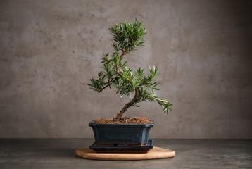 Foto auf Acrylglas Bonsai Japanese bonsai plant on grey stone table. Creating zen atmosphere at home