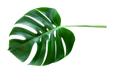 Wall Mural - Beautiful Tropical Monstera leaf isolated on white background for design elements, Flat lay