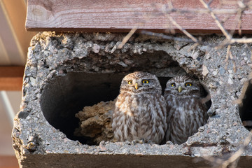 Fototapete - Two small owls Athene Noctua look out from their burrow