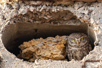 Fototapete - Little owl Athena Noctua looks out of her hole