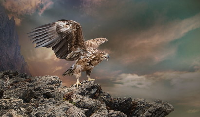 Photo sur Plexiglas Aigle an eagle sits on a stone