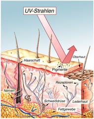 UV-Strahlung.Haut im Querschnitt