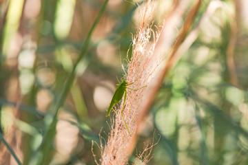 Eine Heuschrecke sonnt sich an einem Gras