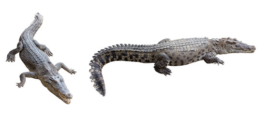 Crocodile isolated on white background. clipping path