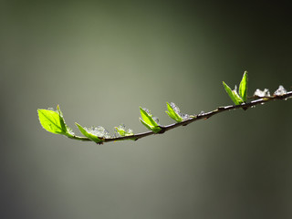 Branch with sprouting leaves with ice. Nature background