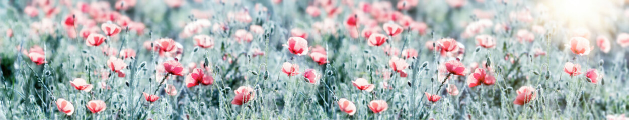 Foto op Canvas Poppy Selective and soft focus on red poppy flowers, flowering wild poppy flower in meadow