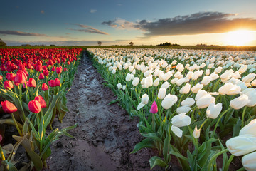 red and white tulip field at sunset
