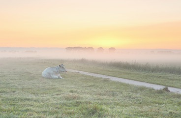 Wall Mural - relaxed milk cow on misty pasture