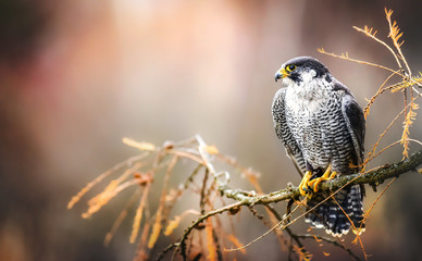 Zelfklevend Fotobehang Vogel Peregrine falcon on branch. Bird of prey falconry male portrait, Falco peregrinus