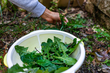 Hands of man in background picking wild green dandelion leaves for health on trail in park or garden backyard closeup of leafy greens