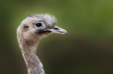 Poster Struisvogel Closeup shot of an ostrich with a blurred background