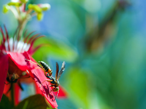 Paper Wasp on a Maypop Petal