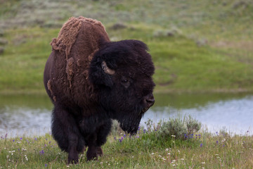 Canvas Prints Bison Large Male Bison in Yellowstone