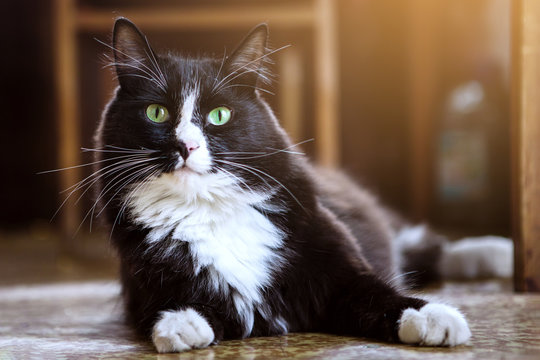 Black and white cat lies