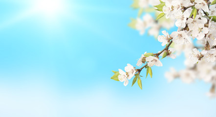Fototapete - Flower of cherry on blue sky sunny background
