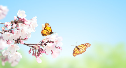 Fototapete - Sakura flowers and two monarch butterflies