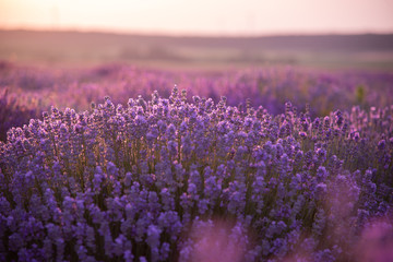 Fotobehang Snoeien a close up of lavender flowers at sunset.