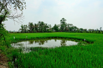 Thailand beautiful Rice field landscape