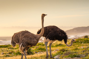 Tuinposter Struisvogel Ostrich walk for living on field at seaside : Cape of good hope , South africa