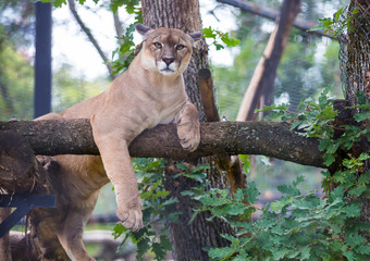 Poster Puma Cougar animal relax on tree