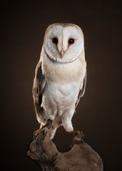 Papiers peints Chouette Barl owl looking at camera sitting on a tree trunk on a dark brown background