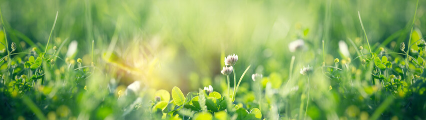 Zelfklevend Fotobehang Lente Flowering clover in meadow, spring grass and clover flower lit by sunlight in spring
