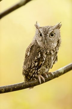Eastern screech owl standing on a tree branch under the sunlight with a blurry background