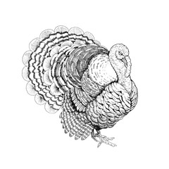 Drawing large Turkey with  bushy tail