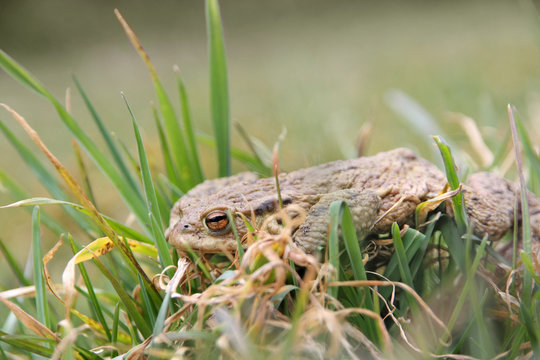 A skinny frog after winter hibernation, is crossing the field trying to reach the wetland over the street