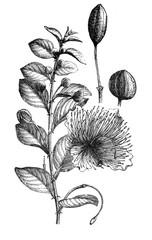Caper plant (Capparis spinosa) bush plant / Antique illustration from Brockhaus Konversations-Lexikon 1908