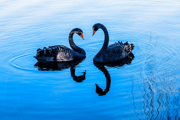 Photo sur Aluminium Cygne A pair of black swans moored in the blue lake. Pair of black swans on blue water.