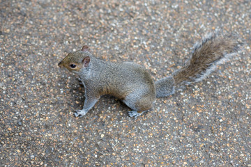 Little Grey and Brown Squirrel on the Ground