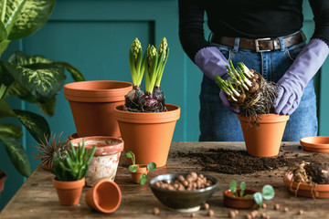 Photo sur Aluminium Vegetal Woman gardener is transplanting beautiful plants, cacti, succulents to ceramic pots and taking care of home flowers on the retro wooden table for her concept of home garden.