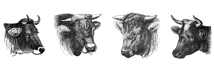 Tuinposter Buffel Cow and bull banner collage / Antique illustration from Brockhaus Konversations-Lexikon 1908