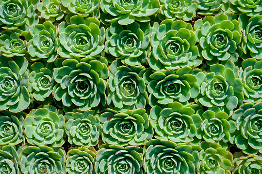 Top down view of a background of sempervivum.
