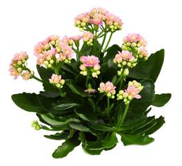 Shrub of kalanchoe flower