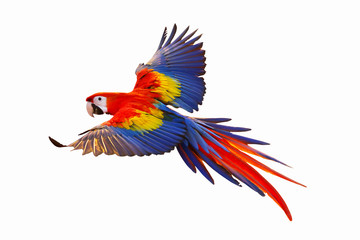 Poster Perroquets Colorful macaw parrot isolated on white.