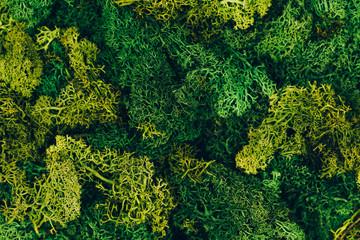 Wild green natural moss in macro shot. Flat lay style. Zero waste consept.