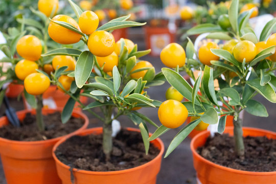 Indoor miniature citrus trees with ripe fruits in pots in a flower shop.
